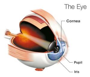 Illustration of an Eye Showing the Cornea